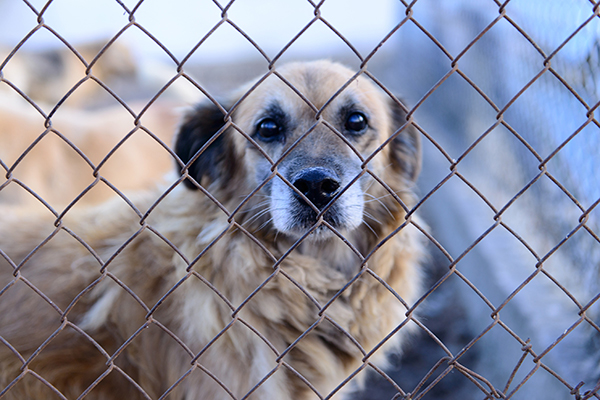 Picture of a Dog behind a fence at a shelter