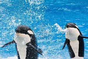 Orcas spit water at viewers